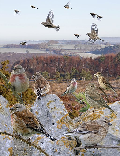 Linnet from the Crossley ID Guide Britain and Ireland.jpg