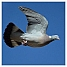 Wood pigeon in flight (E) (2) (9044214258).jpg