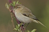 Flickr - Rainbirder - Chiffchaff (Phylloscopus collybita).jpg