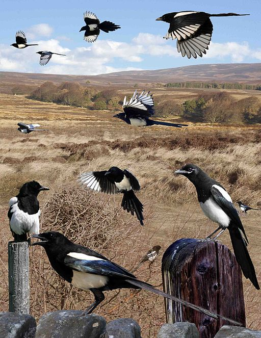 Magpie from the Crossley ID Guide Britain and Ireland.jpg
