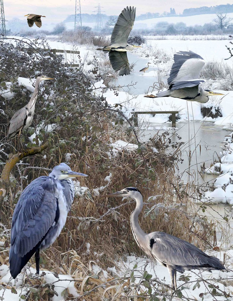 Grey Heron from the Crossley ID Guide Britain and Ireland.jpg